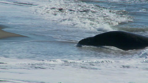 Elephant seals lie in the surf Footage