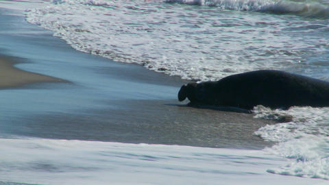 Elephant seals lie in the surf Stock Video Footage
