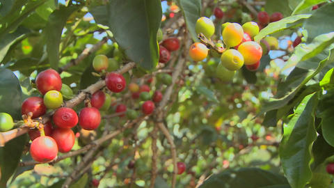 Coffee beans grow on a coffee plantation in the tropics Stock Video Footage