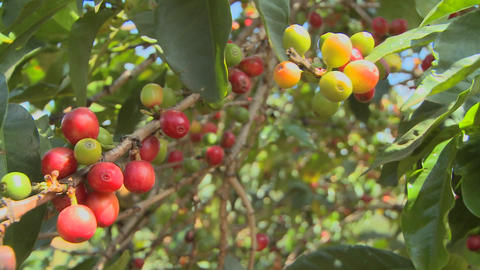 Coffee beans grow on a coffee plantation in the tropics Footage