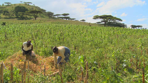 Two women work in the fields on a farm in Africa Footage