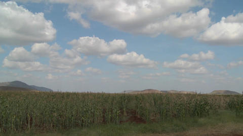 Corn grows in farm fields in Africa in this time lapse shot Footage