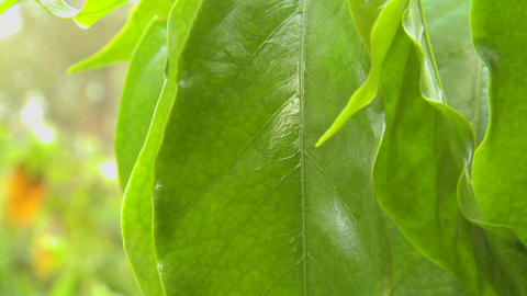 Beautiful green leaf in a tropical rainforest Stock Video Footage