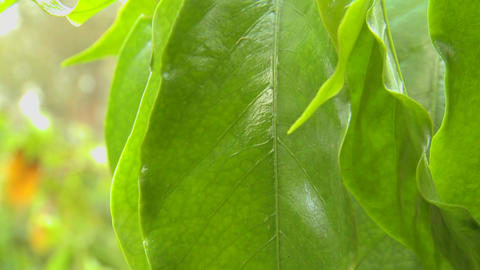 Beautiful green leaf in a tropical rainforest Footage