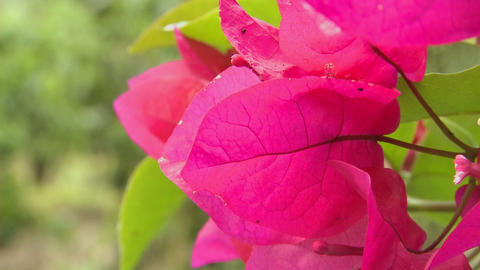 Bougainvillea flowers bloom in a tropical rainforest Stock Video Footage