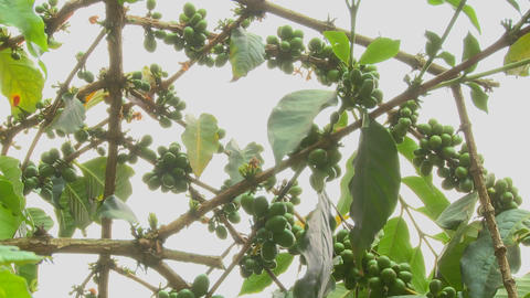 Low angle shot across coffee berries growing in a tropical location Footage