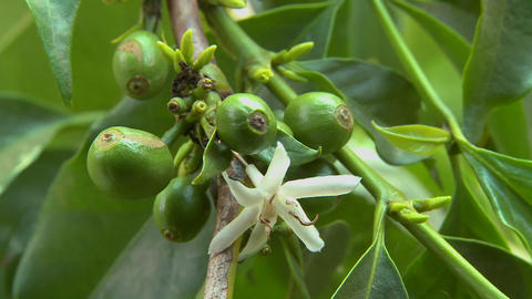 Close up of coffee beans growing and flowering Stock Video Footage