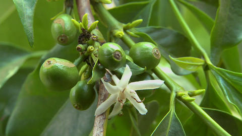 Close up of coffee beans growing and flowering Footage