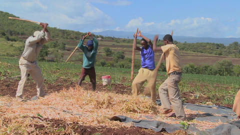 A circle of men thresh wheat on a farm in Africa Footage