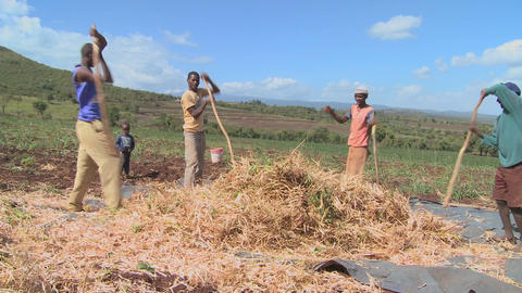 A circle of men thresh wheat on a farm in Africa Stock Video Footage