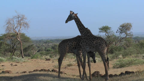 Giraffes tussle and fight in a display of mating behavior Stock Video Footage