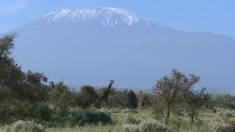 Giraffes stand in front of snowclad Mt. Kilimanjaro in Tanzania, East Africa Footage
