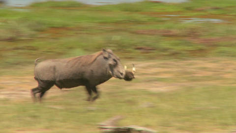 A warthog runs across the desert in Africa Stock Video Footage