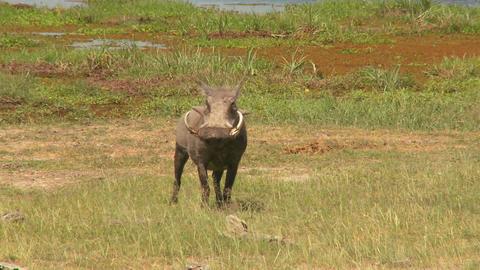 A warthog runs across the desert in Africa ビデオ
