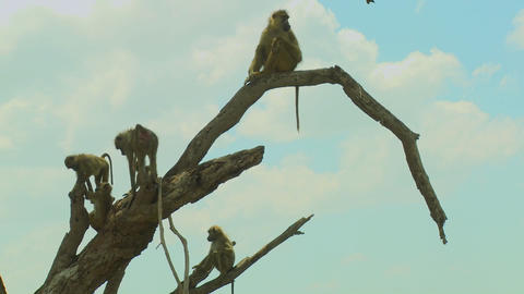African baboons sit in a tree as a family group Stock Video Footage