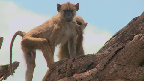 Young baboons sit in a tree and pick fleas and ticks off... Stock Video Footage