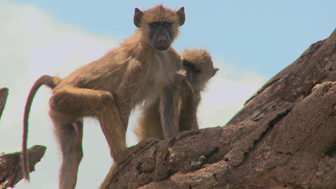 Young baboons sit in a tree and pick fleas and ticks off each other Footage