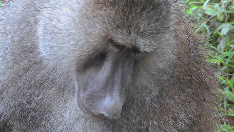 Close up of a baboon having fleas and ticks picked off in a grooming ritual Footage