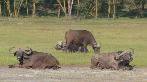 Cape buffalo relaxing on the plains of Africa Footage