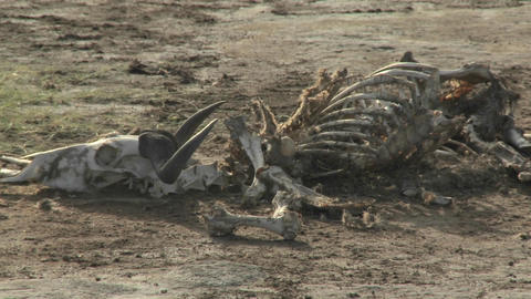 In a parched landscape, the skeleton of a dead animal... Stock Video Footage
