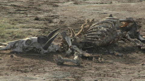 In a parched landscape, the skeleton of a dead animal lies in the desert as an example of life and d Footage