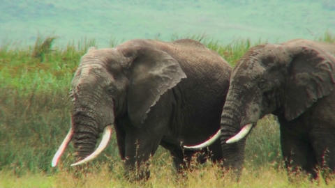 African elephants graze on the savannah Footage