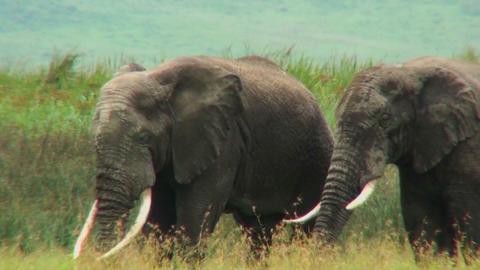 African elephants graze on the savannah Stock Video Footage