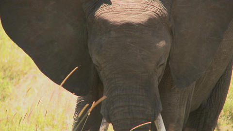 An elephant eats grass with his trunk on the African plains Stock Video Footage