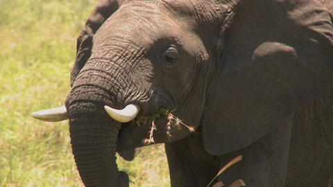 An elephant eats grass with his trunk on the African plains Footage