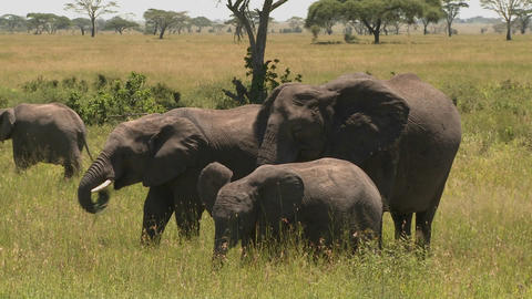 A group of three elephants graze on the Serengeti plains Footage