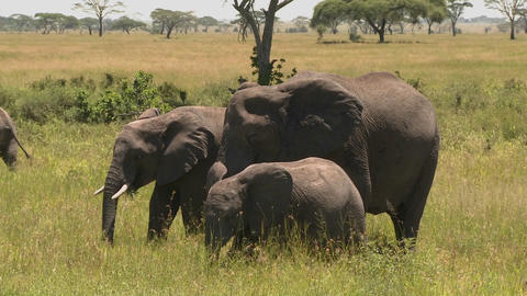 A group of three elephants graze on the Serengeti plains Stock Video Footage