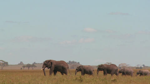 A spectacular shot of elephants migrating across the... Stock Video Footage