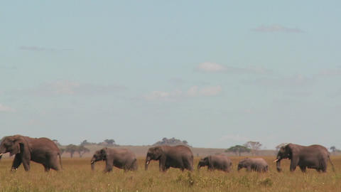 A spectacular shot of elephants migrating across the African plains on the Serengeti Footage