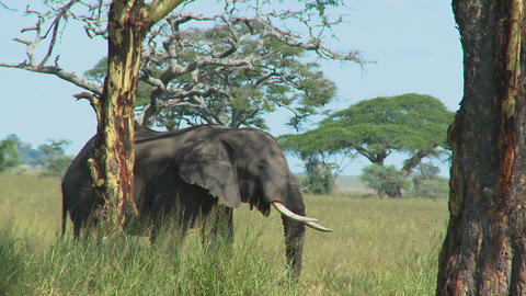An elephant reaches into the trees with its trunk Stock Video Footage