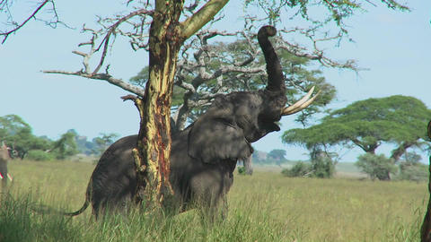 An elephant reaches into the trees with its trunk Footage