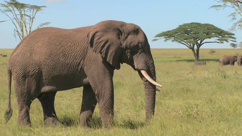 An elephant relaxes on the Serengeti plains of Africa Footage