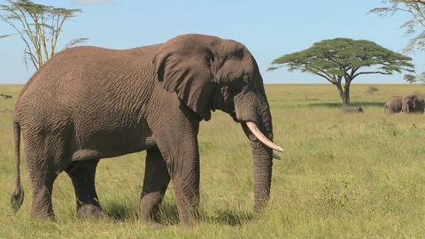 An elephant relaxes on the Serengeti plains of Africa Stock Video Footage