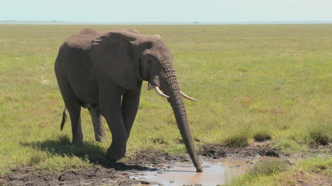 An elephant drinks from a watering hole on the Serengeti plains Footage