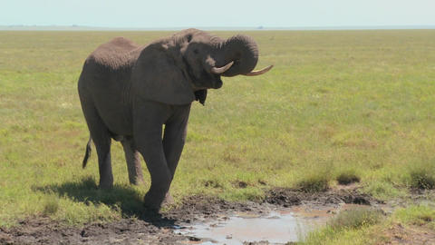 An elephant drinks from a watering hole on the Serengeti... Stock Video Footage
