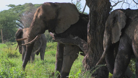 Giant African elephants use a local tree to scratch their itches Footage