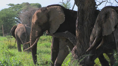 Giant African elephants use a local tree to scratch their... Stock Video Footage