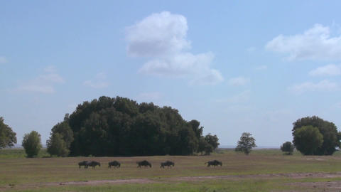 Wildebeests run across the plains in Africa Stock Video Footage