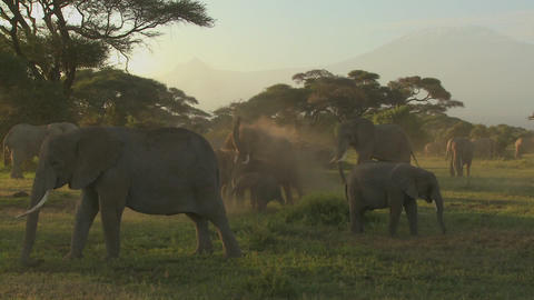 Large herds of African elephants migrate near Mt. Kilimanjaro in Amboceli National Park, Tanzania Footage
