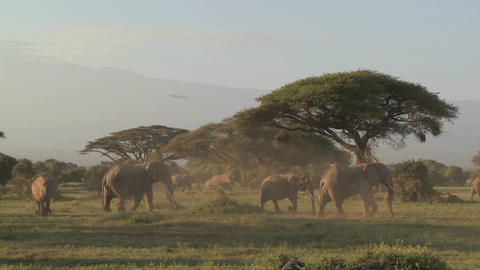 Large herds of African elephants migrate near Mt.... Stock Video Footage