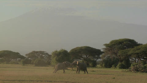 Elephants fight each other on the plains of Africa Footage