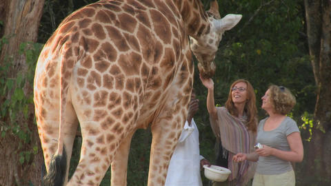 Tourists pet a giraffe in a zoo setting Footage
