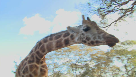 A giraffe is fed by hand in Africa Stock Video Footage