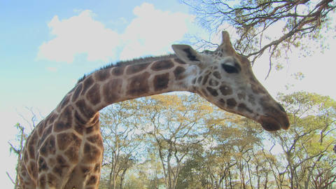 A giraffe is fed by hand in Africa Footage