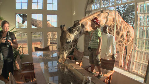 Giraffes stick their heads into the windows of an old mansion in Africa and eat off the dining room Footage