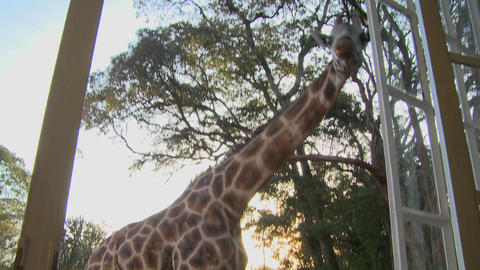 Giraffes mill around outside an old mansion in Kenya Stock Video Footage